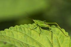 Free Grasshopper Royalty Free Stock Photos - 32243918