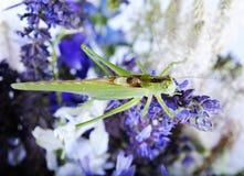 Grasshopper Στοκ εικόνες με δικαίωμα ελεύθερης χρήσης