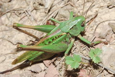 Grasshopper. Green grasshopper is sitting on the ground Royalty Free Stock Image