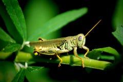 grasshopper fotografia stock libera da diritti