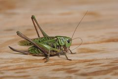 Grasshopper. A green grasshopper royalty free stock photos