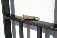 grasshopper Immagine Stock