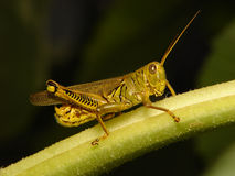 grasshopper Στοκ Φωτογραφίες