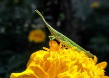 grasshopper Fotografie Stock Libere da Diritti