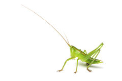 Free Grasshopper Stock Images - 5243614