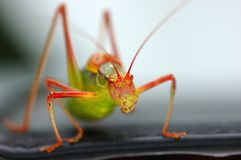 Free Grasshopper Stock Image - 5961231