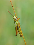 Grasshopper. Green grasshopper on a grass Royalty Free Stock Photography