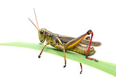 Free Grasshopper Stock Photos - 6209233