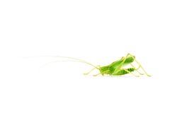 Grasshopper. Tiny grasshopper with long antennae isolated on white background stock photo