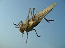 Grasshopper. Resting on car glass Royalty Free Stock Photos