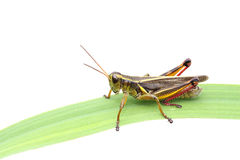 Grasshopper. Macro image of grasshopper on blade of grass over white background Royalty Free Stock Image
