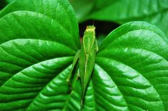 Free Grasshopper Royalty Free Stock Photo - 7077515