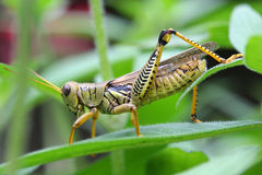 Grasshopper. Yellow & Green Grasshopper - Focus on the Hind Leg Stock Photos