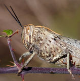 Grasshopper. Grey-brown grasshopper, with striped eyes, on a branch stock photos