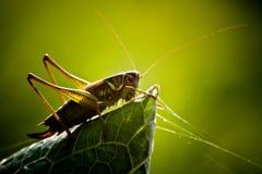 Grasshopper στοκ φωτογραφία