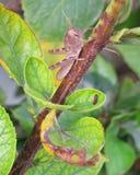 grasshopper Immagini Stock