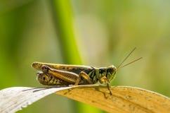 grasshopper Fotografie Stock