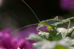 Grasshopper. Side portrait of grasshopper on green leaf with purple flowers in background Stock Image