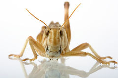 Grasshopper. On white background with reflection Royalty Free Stock Images