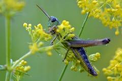 grasshopper Fotografia Stock