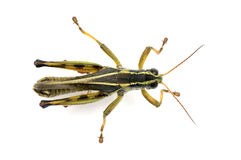 Grasshopper from above Stock Images