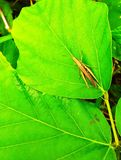 A grasshopper above the leaf green royalty free stock photo