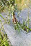 Grasshopper above spider web. Small Grasshopper escapes from the dewy flat plate web of a Funnel-web spider, probably Agelena labyrinthica Stock Images