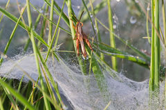 Grasshopper above spider web. Small Grasshopper escapes from the dewy flat plate web of a Funnel-web spider, probably Agelena labyrinthica Royalty Free Stock Photos
