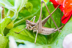 A grasshopper amongst geranium leaves. royalty free stock image