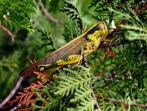 Grasshopper Amongst Leaves Stock Photo