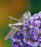 Grasshopper Anacridium aegyptium Royalty Free Stock Images