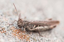 Grasshopper, Animal, Insect, Grey Royalty Free Stock Images