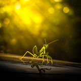 Grasshopper. Art style with sun light Royalty Free Stock Photos