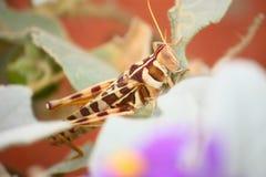 Grasshopper. In Australia Royalty Free Stock Photos