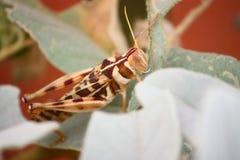 Grasshopper. In Australia Stock Photo