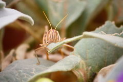 Grasshopper. In Australia Stock Images