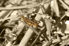 Grasshopper on B&W. Grasshopper isolated in colour against a black & white background Stock Image