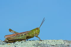 Grasshopper on a background of the sky Royalty Free Stock Photography