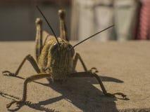 Grasshopper on a balcony royalty free stock image