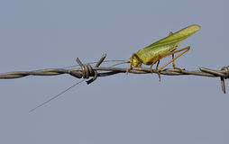 Grasshopper on Barbed Wire Stock Photos