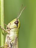 Grasshopper basking in the sunshine Stock Photography
