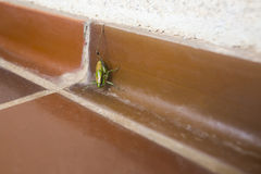 Grasshopper on bathroom floor Stock Images