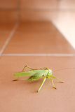 Grasshopper on bathroom wall Royalty Free Stock Photos