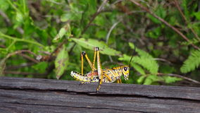 Grasshopper. Beautiful pictures of a grasshopper Royalty Free Stock Image