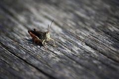Grasshopper on bench Stock Photos