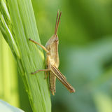 Grasshopper on a blade Royalty Free Stock Image