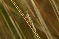 Grasshopper on blade Stock Photo