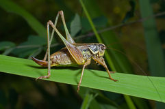 Grasshopper on blade of grass 1 Stock Images