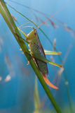 Grasshopper on blade of grass. Grasshopper (Chorthippus) on blade of grass close up shoot Royalty Free Stock Photo