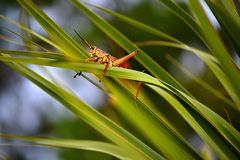 Grasshopper on blade of grass. Royalty Free Stock Photo